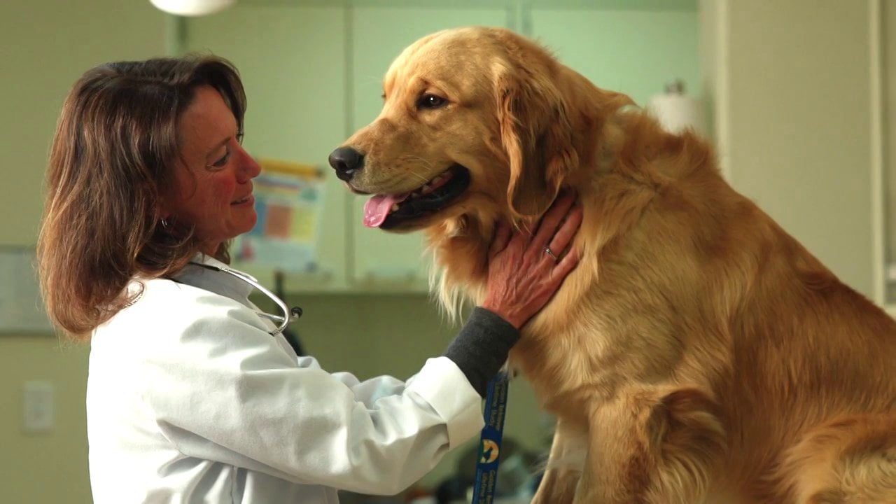 article, golden retriever, and dogs image