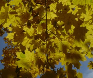 tree, autumn leaves, and yellow image