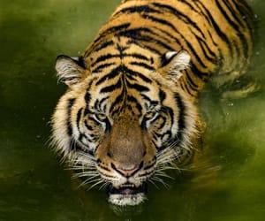 tiger, tigre, and tigri image