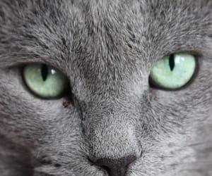 cat, animals, and korat image