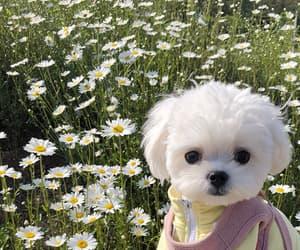 dog, flowers, and maltese image