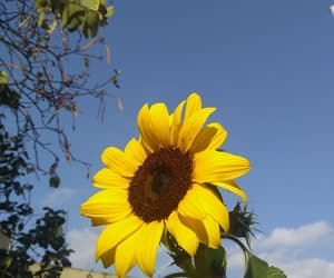 girassol, presente, and summer image
