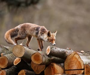 animal, autumn, and fox image