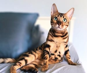 animals, bengal cat, and chic image