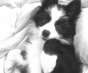 border collie, dogs, and paws image