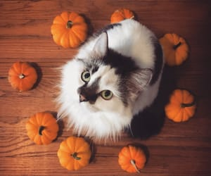 cat, animals, and autumn image