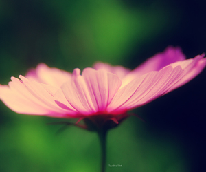 flower, pink flower, and pink image