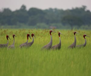 myanmar., photo shows sarus cranes, and ayeyarwady division image