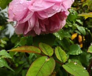 autumn, drop, and rose image