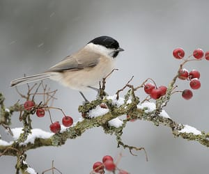 berries, winter, and bird image