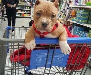 dog, pitbull, and cute image