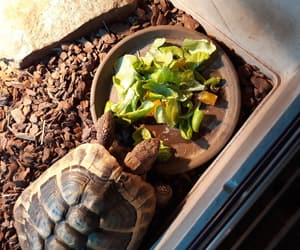 exotic, pet, and tortoise image