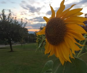 flowers, giallo, and sunset image