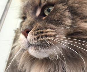 cat, maine coon, and cutie image