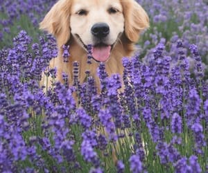 dog, flowers, and golden retriever image