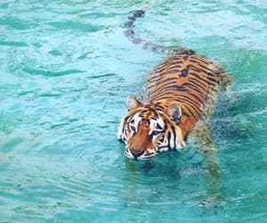 animal, outdoor, and tiger image