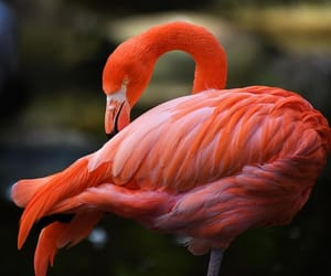 beautiful, bird, and flamingo image