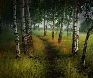 nature and birch trees image