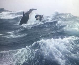 whales, killer whale, and orca image