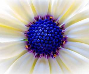 cobalt blue, flowers, and purple image