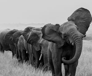 africa, black and white, and elephants image