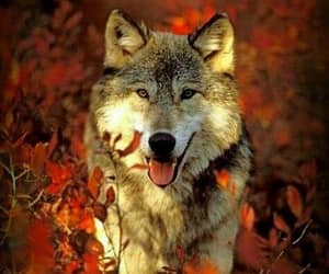 autumn colors, wolf, and fall foliage image