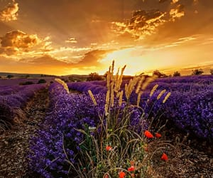 flowers, lavender field, and tumblr image
