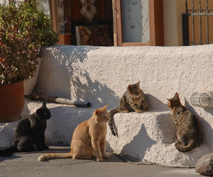 cats, Greece, and santorini image