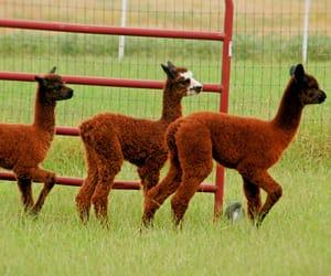 alpacas, animals, and farm image