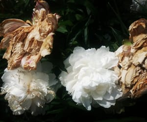 aesthetic, flowers, and peonies image