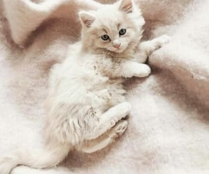 animal, cats, and white cat image