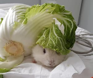 animal, cuy, and guinea pig image