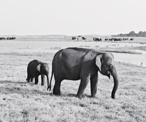 animals, black and white, and elephants image