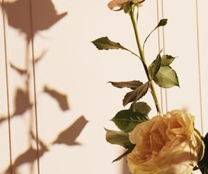 flower, morning, and rose image