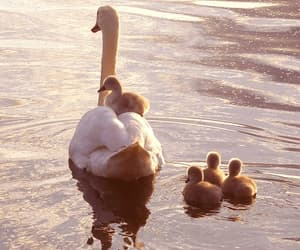animal, Swan, and cute image