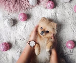 dogs, pomeranian, and puppy image