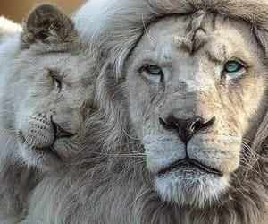 animal, lion, and beauty image