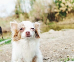 chihuahua, smile, and dog image