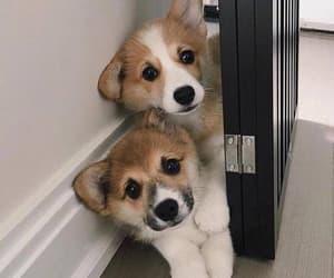 corgi and puppy image