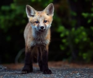 baby, red fox, and wild image