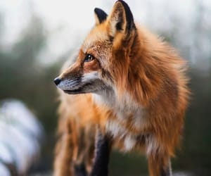 fox, nature, and travel image