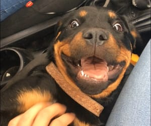 :), rottweiler, and smile image
