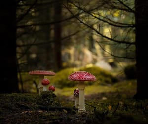fly agaric, forest, and moss image