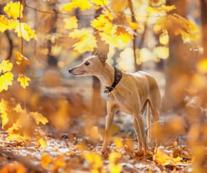 autumn colors, dog, and leaves image