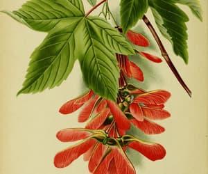 scientific illustration, botany, and shrubs image