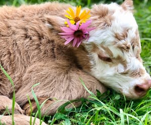 flowers, cow, and animal image