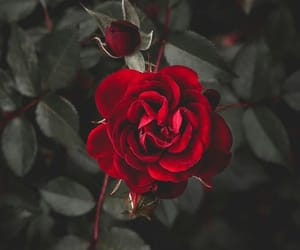 rose, flowers, and wallpaper image
