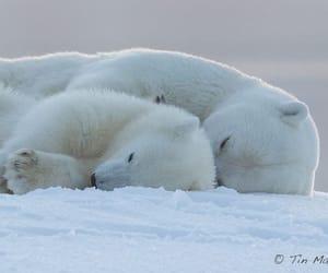 animal, Polar Bear, and cute image