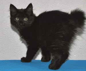 blackcat and japanesebobtail image