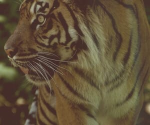 animal, dangerous, and tiger image